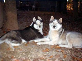 Hudons Huskies - Panda and Abby