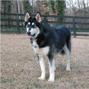 Hudsons Malamutes - Sitka Timber