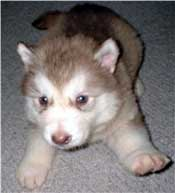 Hudons Malamutes - Callie - born Born January  2003