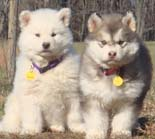 Hudson's Malamutes - Adorable Gray & White Puppy! - A Puppy is a big investment. You have to have love and understanding. You have to have a commitment to training.