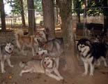 Hudson's Malamutes - All my dogs are socialized together and live with each other peacefully.